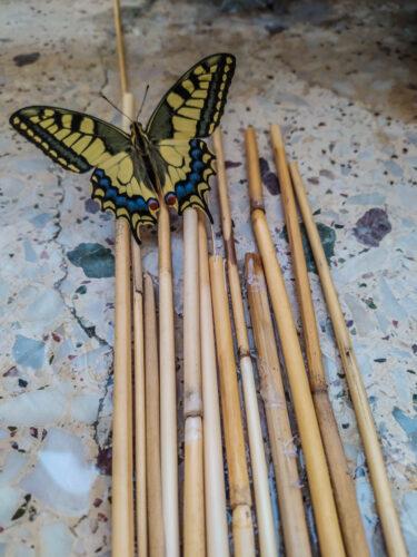 Papilio machaon no 5