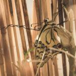 """Πως βρέθηκα με """"κουτάβια"""" Papilio machaon:  Από κάμπια σε πεταλούδα"""